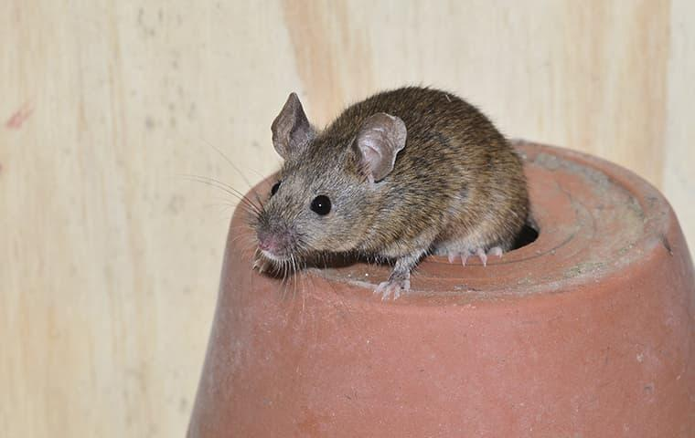House mouse hiding in a plant pot in Vernal, UT