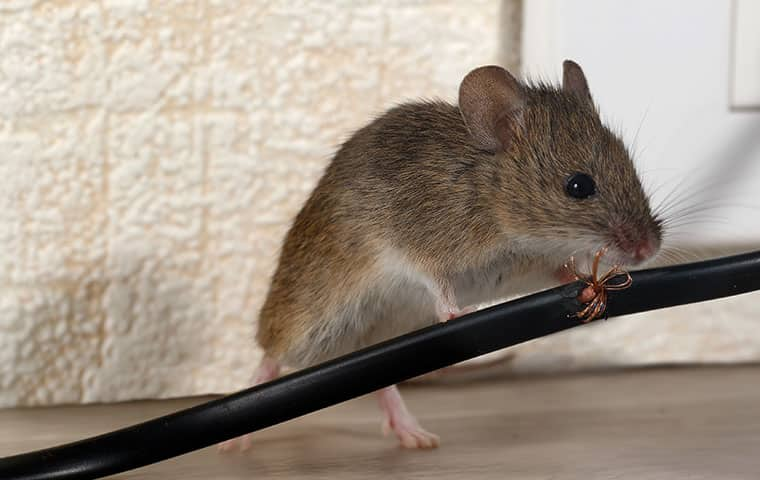 rodent chewing on wire in home