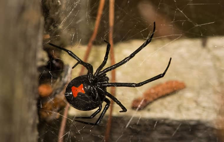 black widow spider on webbing outside home