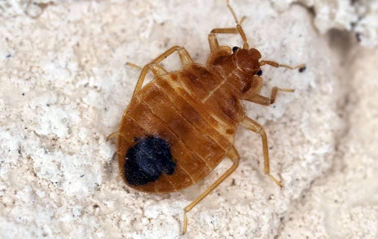 bed bug on rock