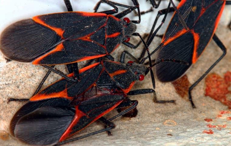 three boxelder bugs outside home