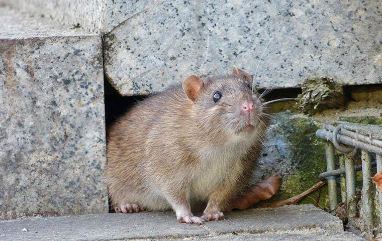 rat in a foundation