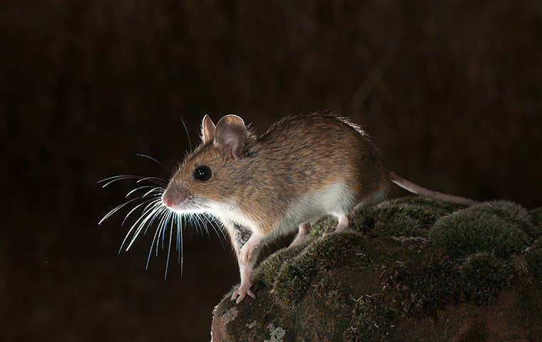 little mouse in the dark