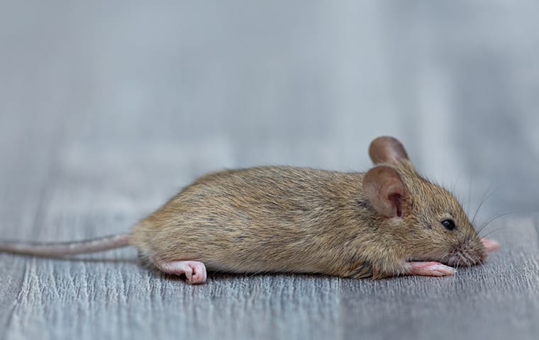 a house mouse in a living room