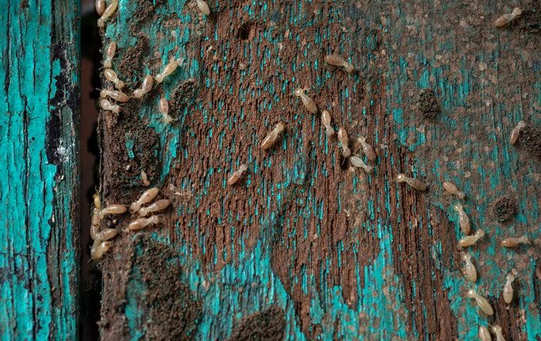 termites an a rotten board