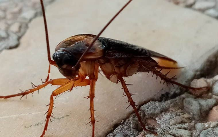 an american cockroach up close