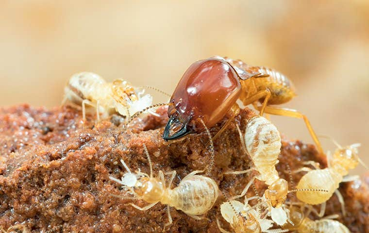 termites on chewed up wood particals