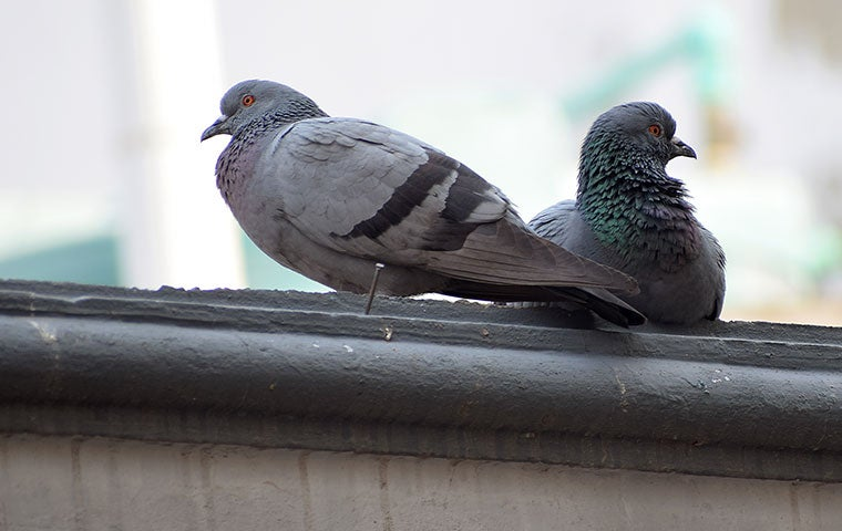 two pigeons on a roof