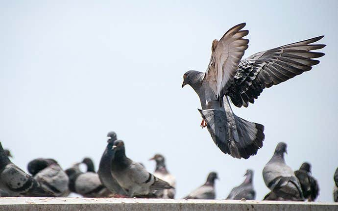 pigeons perched on a roof in manteca california