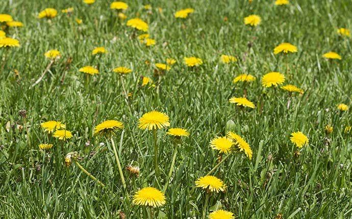 weeds in the grass in manteca california