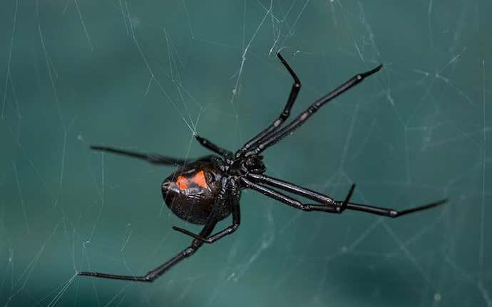 a black widow spider in manteca california
