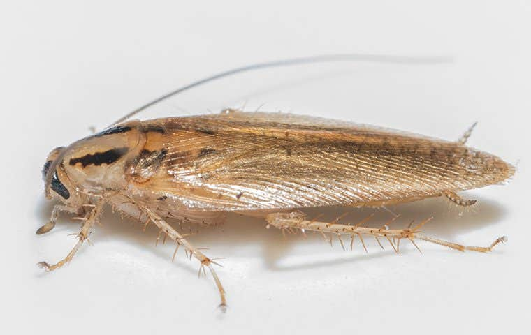 close up of a german cockroach in a bathroom