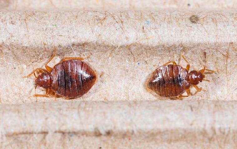 two bed bugs on a blanket