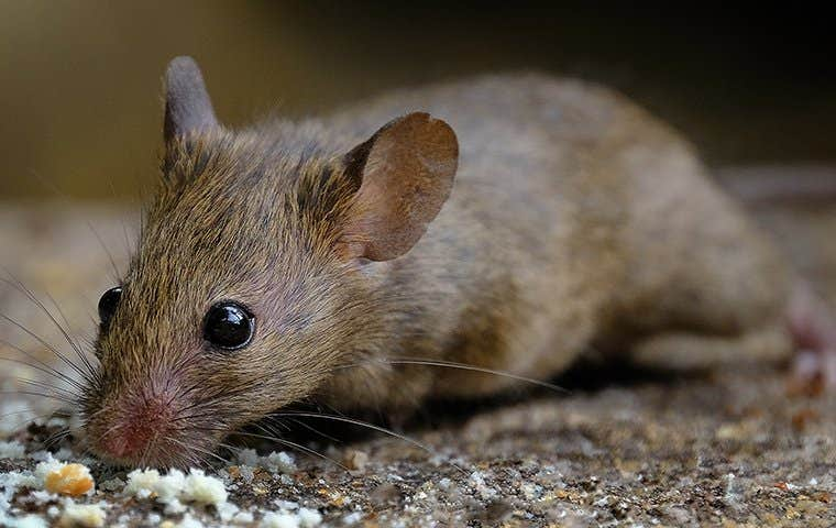 mouse eating food crumbs