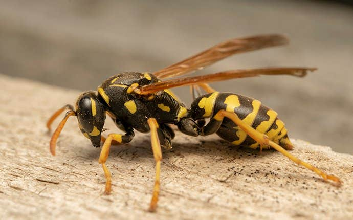 a wasp on wood in manteca california