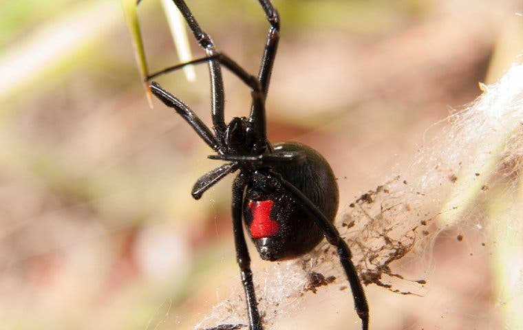a black widow spider in its web at a home in manteca