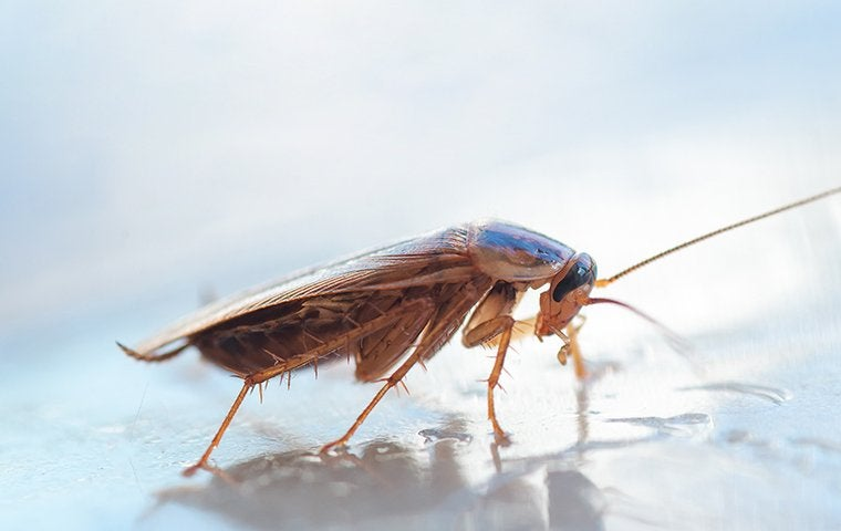 a german cockroach in a kitchen in manteca