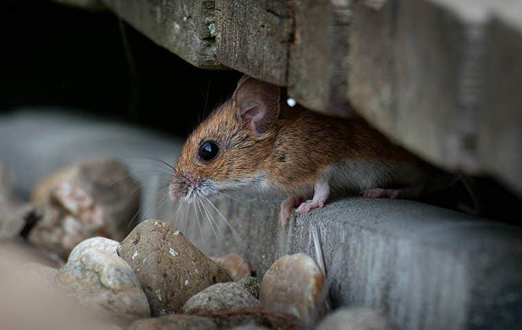 a mouse in a basement
