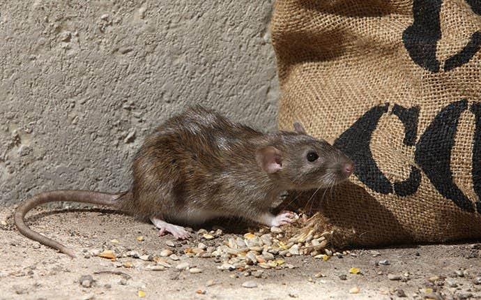 a brown rat in manteca california