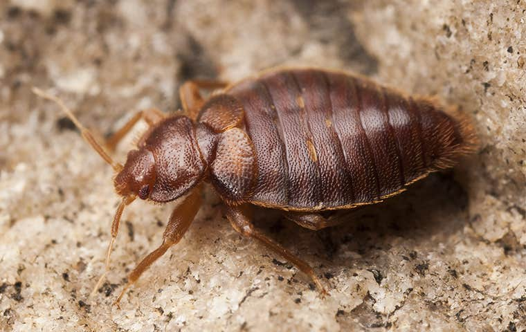 close up a bed bug on floor