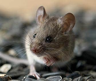 a mouse on seeds in manteca california
