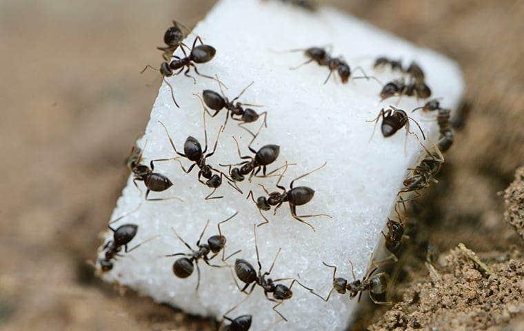ants eating a grain of sugar