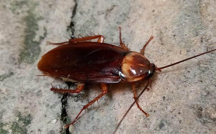 an american cockroach in manteca california