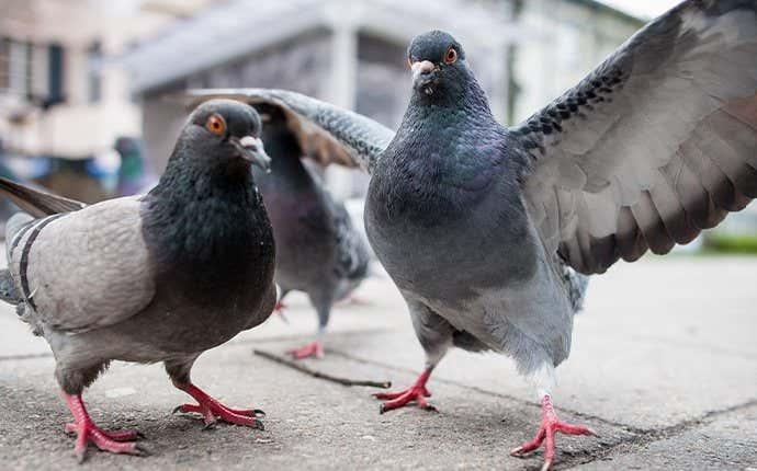 pigeons on a sidewalk  in manteca california