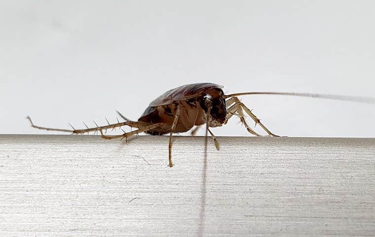 a german cockroach on a chair