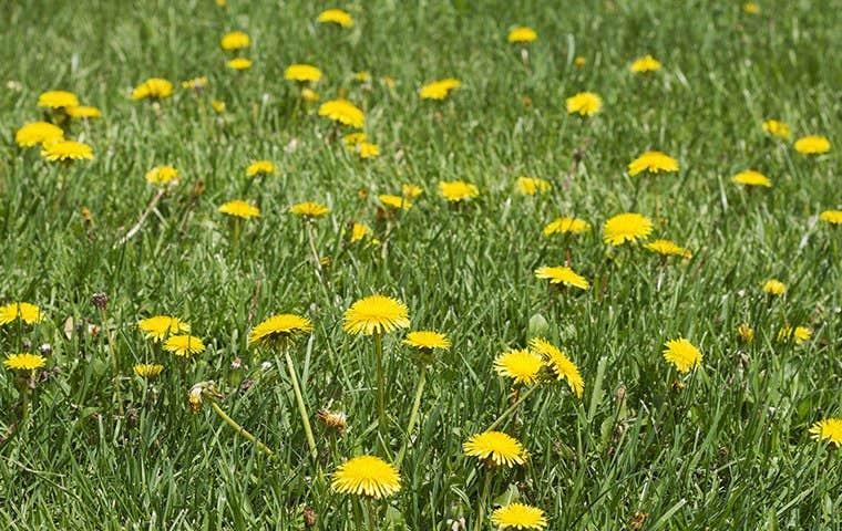 a lawn full of dandelions