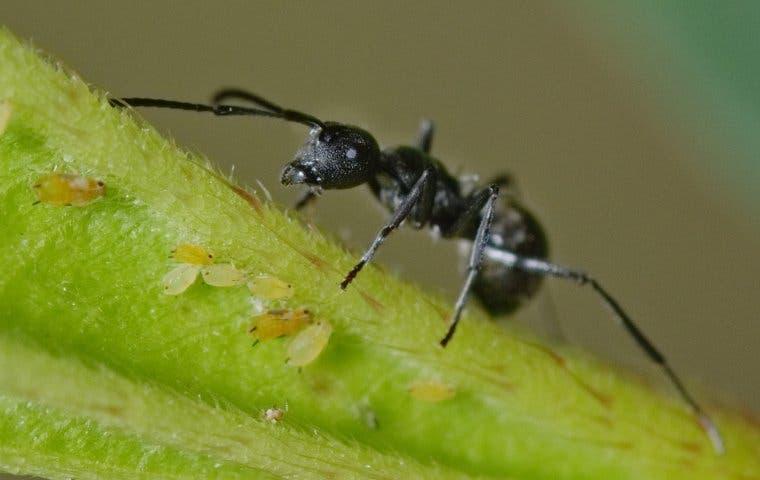 an odorous house ant on a leaf