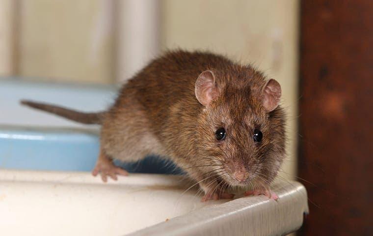 a rat on a bathroom sink