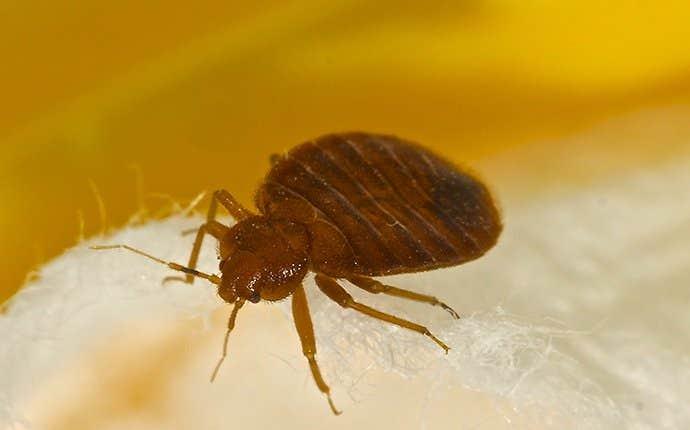 a bedbug in manteca california