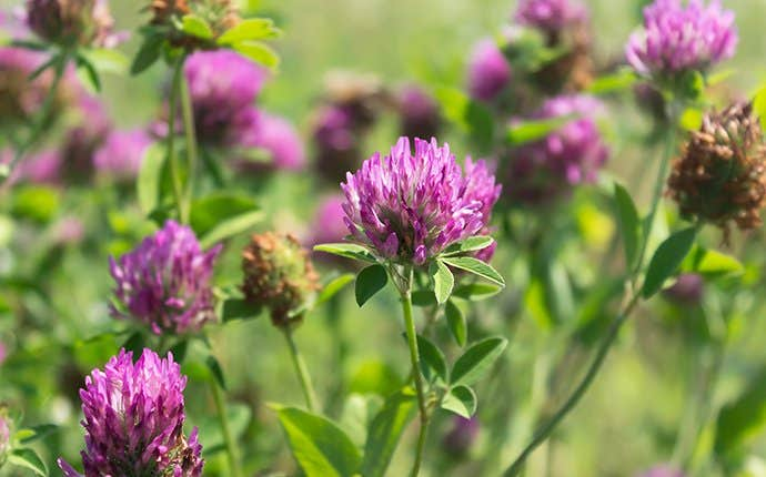 purple weeds in manteca california