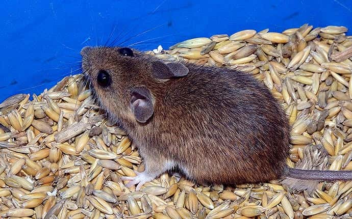mice on seeds in manteca california