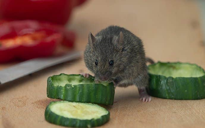a mouse eating a cucumber in manteca california