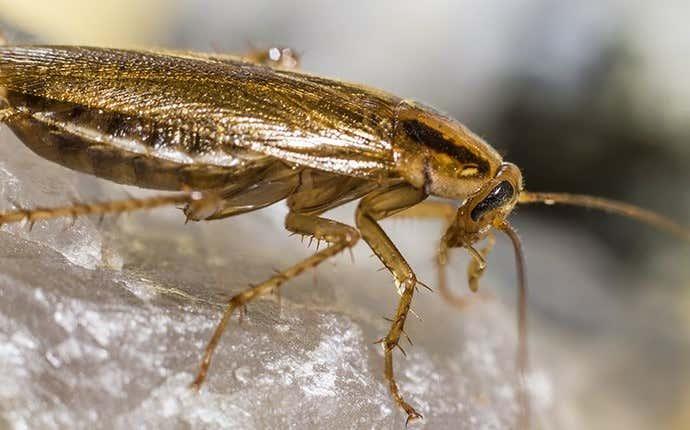a german cockroach in manteca california