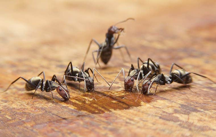 several ants drinking water on a kitchen floor