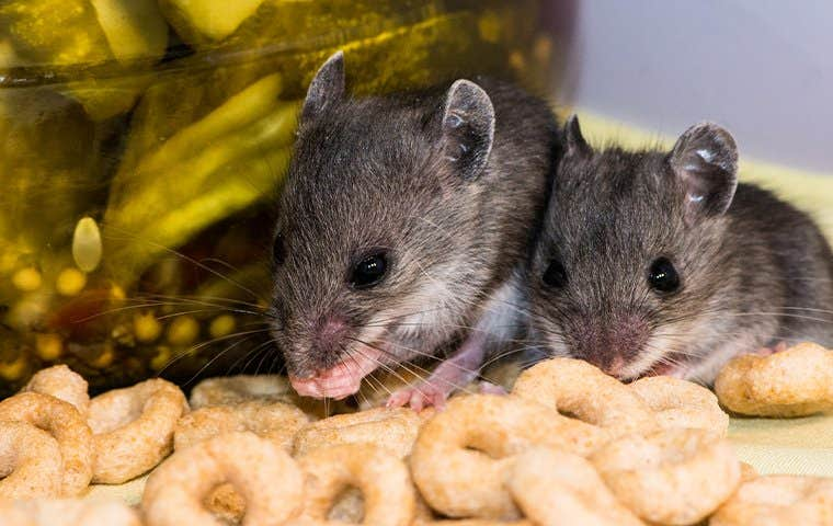 mice eating Cheerios in a cupboard