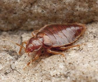 a bedbug on gravel in manteca california