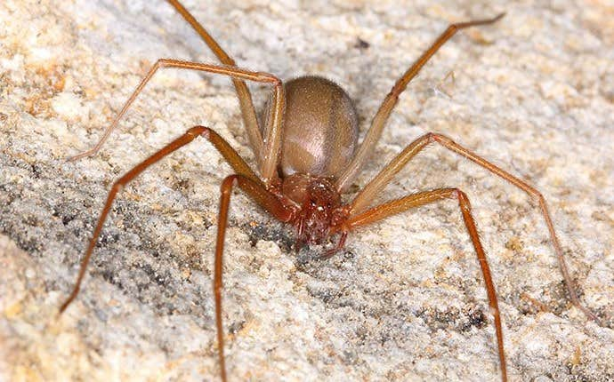 a brown recluse spider in manteca california