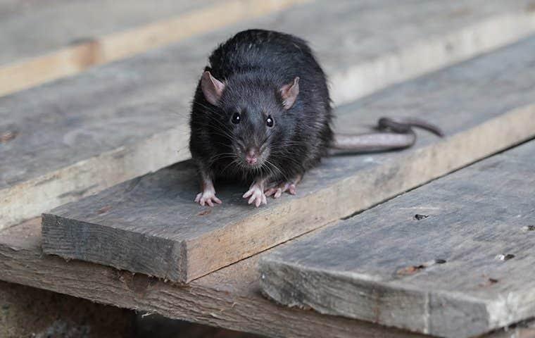 a black rat in duluth georgia