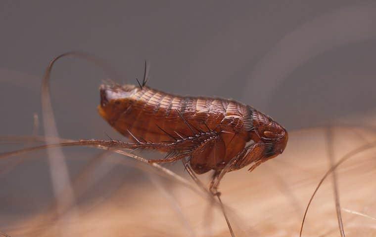 a flea on skin in duluth georgia