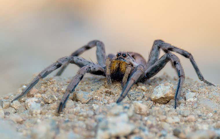 a spider in duluth georgia