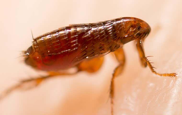 a brown flea in duluth georgia