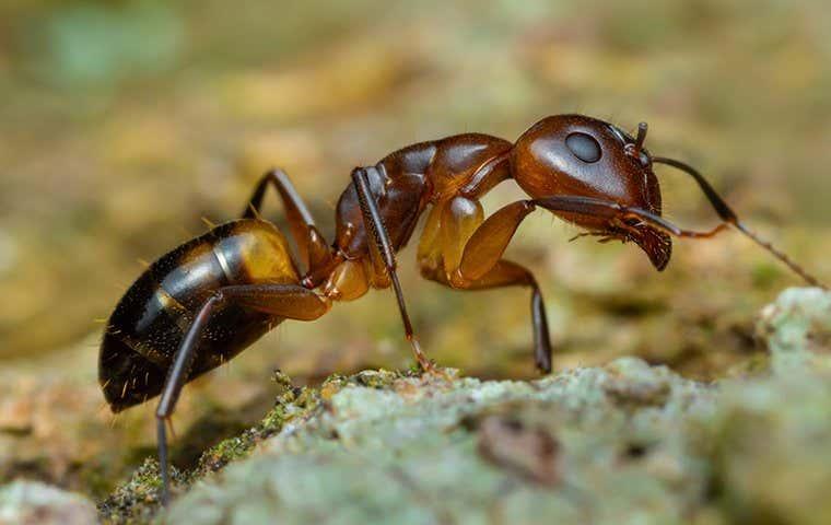an ant in duluth georgia