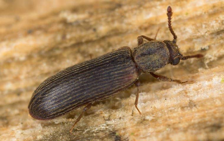 beetle in duluth georgia