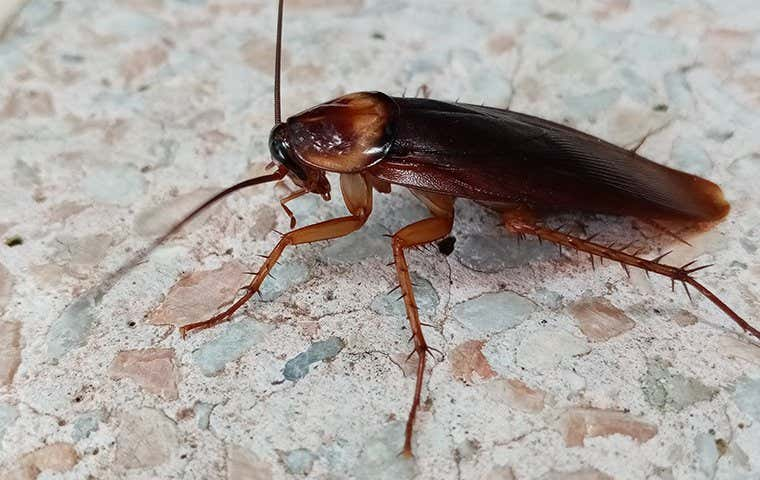 an american cockroach in duluth georgia