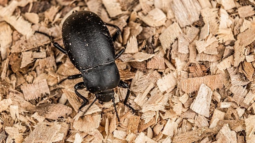 Darkling beetles can lay 200 to 2,000 eggs in their short 3-month life