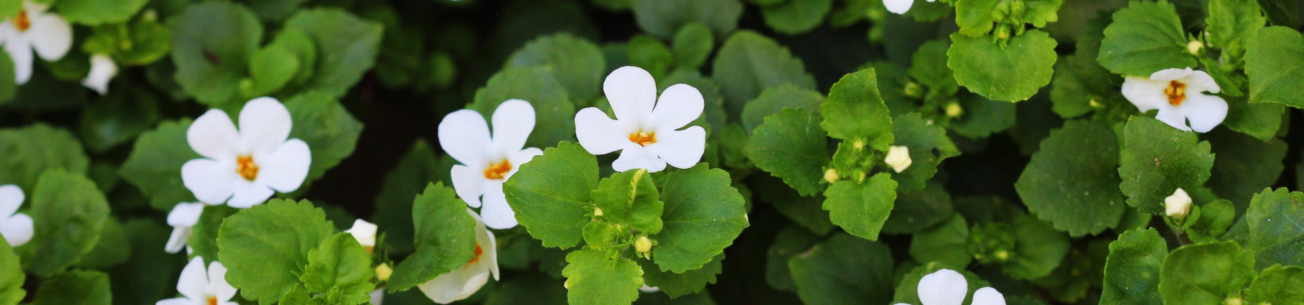 Bacopa monnieri plant and flowers